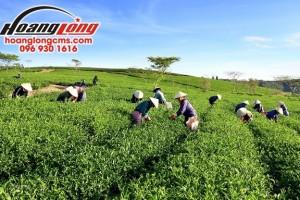 Tuyển 100 lao động nữ thu hoạch chè xuất khẩu lao động Đài Loan
